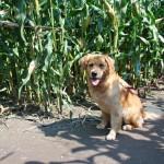 Hund im Mais
